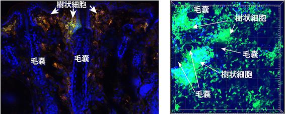 図1 毛の断面図。図2 生体内顕微鏡での白血球の動態を観察。