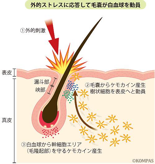 図3 毛嚢免疫システムのシェーマ