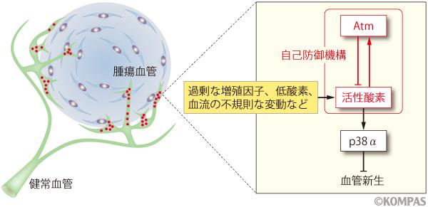 図2 Atmと活性酸素による血管新生の制御