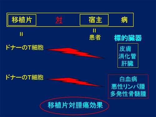 図4.移植片対腫瘍効果