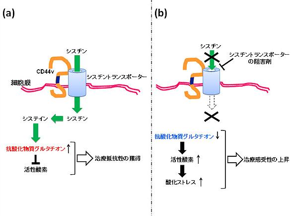 図3.CD44vによるシスチン取り込みの促進とその阻害による治療