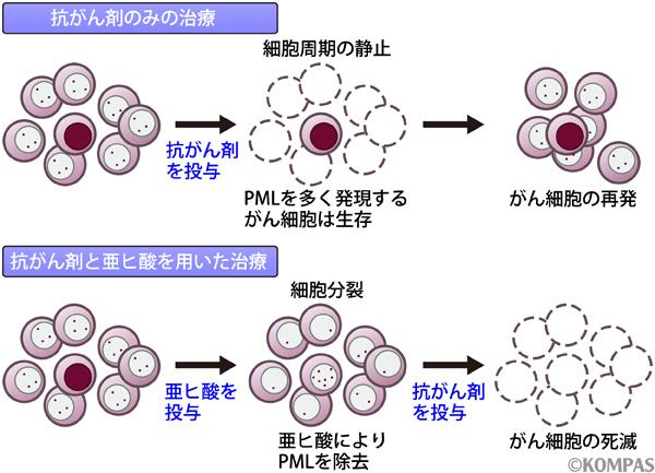 図3.抗がん剤と亜ヒ酸の併用療法でがん細胞が死滅