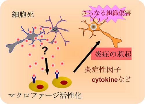図1 脳虚血による炎症惹起のメカニズム