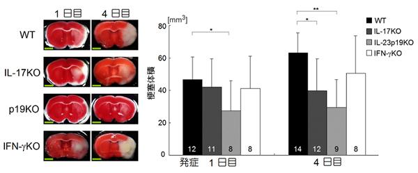 図2 IL-17、IL-23遺伝子欠損マウスは脳虚血による組織障害が減弱する