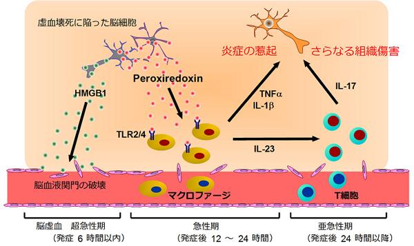 図5 脳虚血における炎症惹起因子としてのPrxの役割