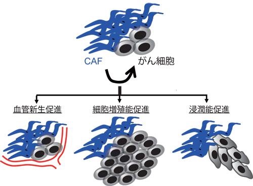図1 CAFによる血管新生促進・がん細胞増殖浸潤促進