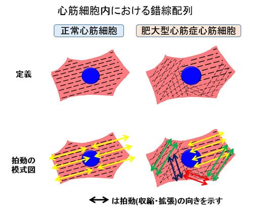 図4 心筋細胞内における錯綜配列