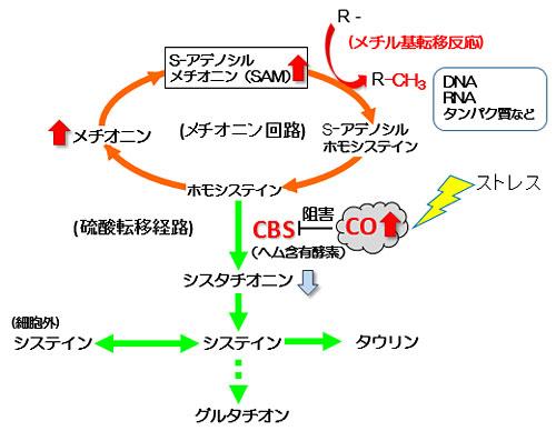 図2 COがメチル基転移反応を制御する仕組み