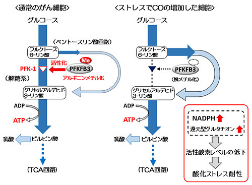 図3 PFKFB3のメチル化状態による解糖系のスイッチング機構