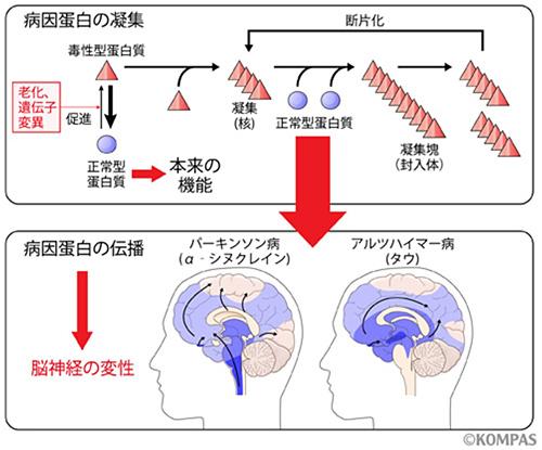 図5.神経変性疾患の病因蛋白の凝集と伝播
