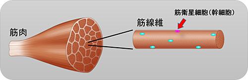 図1. 骨格筋と筋線維の図