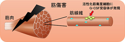 図2. 活性化筋衛星細胞にG-CSF受容体が発現