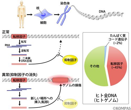 図1. ヒトゲノムにおける転移因子の割合と増幅機構