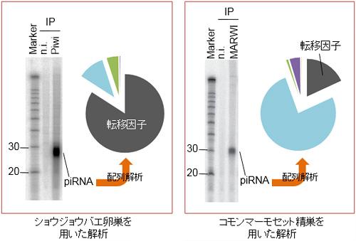 図2. PIWI蛋白質が結合するRNA分子(piRNA)の発見