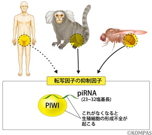 図3. piRNAは様々な生物種に存在する転移因子の抑制因子である