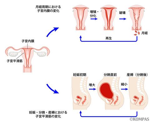 図1.子宮の構造とそのダイナミズム