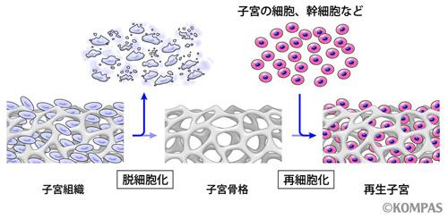 図3.組織工学による子宮の再生・再建の戦略