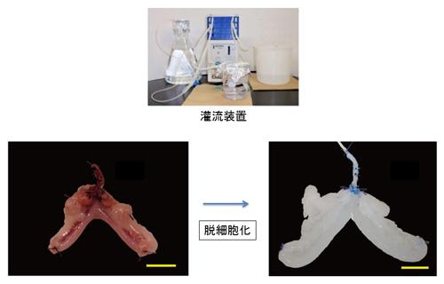 図4.灌流装置を用いたラット子宮の脱細胞化