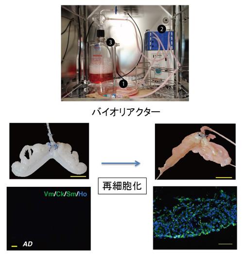 図5.バイオリアクターを用いた試験管内での再細胞化によるラット子宮の再生