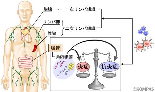 図1. 腸管は全身の免疫のバランスを取る上で重要な役割をもつ