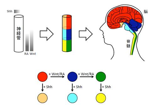 図1. 脳・脊髄の領域化シグナル