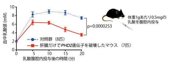 図1.肝臓におけるPHD2不活性化による乳酸浄化能力の向上