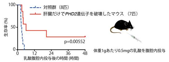 図2. 肝臓におけるPHD2不活性化による致死的乳酸負荷後の生存率の劇的な改善