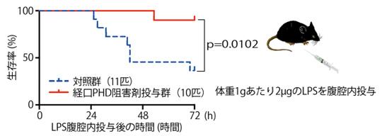 図3. 経口PHD阻害剤による敗血症モデルマウスの治療モデル