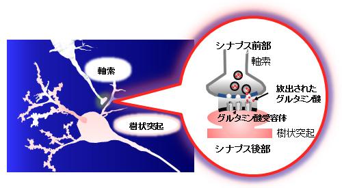 図1.神経細胞の繋ぎ目にあたるシナプスではグルタミン酸とその受容体を介して信号が伝達される。