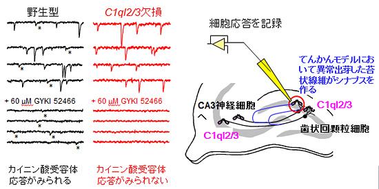 図4.(Neuron.90:752-67,2016の図7を許諾を得て引用改変) C1ql2/3欠損マウスにおいててんかんを人工的に誘導する刺激を与えると、苔状線維は異常シナプスを形成するものの、このシナプスにカイニン酸受容体が動員されずてんかん発作を起こしにくい。