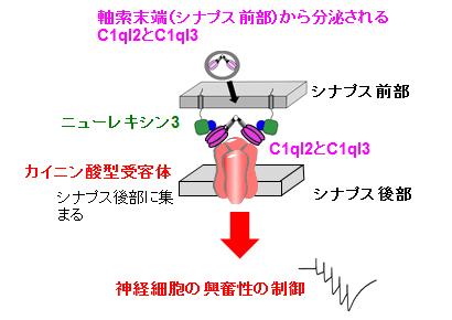 図5.シナプス前部から放出されたC1ql2とC1ql3は、ニューレキシン3-C1ql2/3-カイニン酸受容体、という三者複合体を形成して、神経ネットワーク活動の統合を制御する。