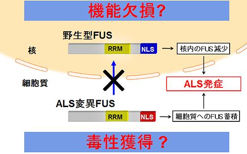 図1.FUSがALS発症を導くメカニズムに関する二つの仮説