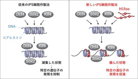 図1.iPS細胞作製過程における山中因子とH1fooのDNAに対する関係