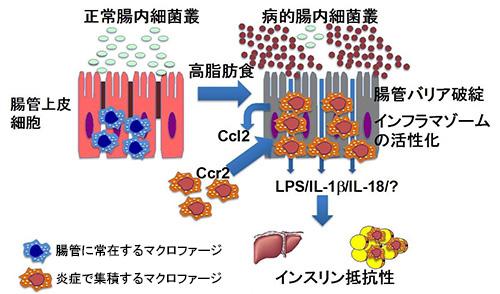 図2.大腸炎症性マクロファージによるインスリン感受性調整のしくみ