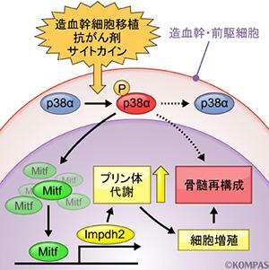 図2.ストレス造血におけるp38αのはたらき