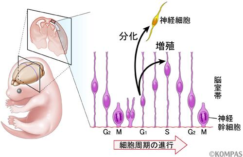図1.胎児の脳室帯において神経幹細胞が細胞分裂し、神経細胞を産生する過程についての概念図