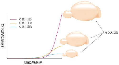 図2.神経幹細胞の分化誘導の確率(Q値)が変動した場合に、神経細胞の数と脳の大きさに与える影響