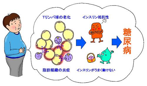 図2.Tリンパ球の老化と内臓脂肪の炎症の関係
