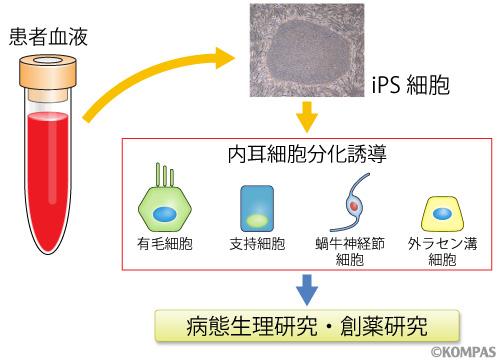 図1.ヒトiPS細胞による内耳細胞の作製