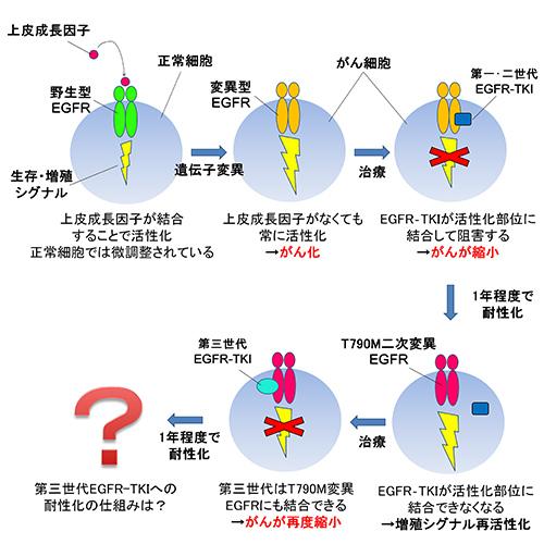 図1.肺がん細胞におけるEGFRとEGFR-TKIの働き