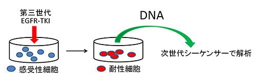 図2.耐性細胞の作成、次世代シーケンサーでの解析