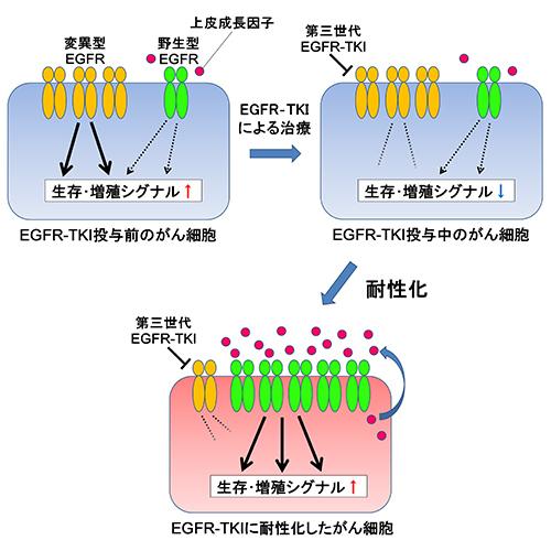 図3.野生型EGFR増幅による第三世代EGFR‐TKIへの耐性化