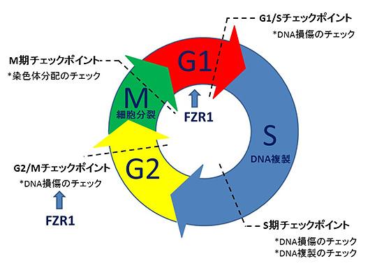 図1.細胞周期・チェックポイント