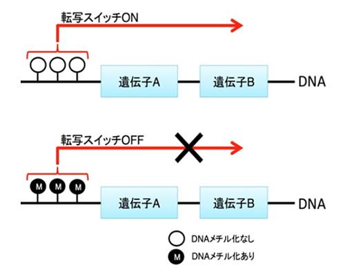 図1.DNAメチル化の仕組み