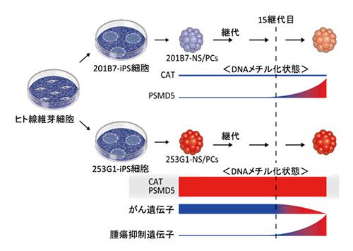 図2.細胞の継代によるDNAメチル化状態の変化
