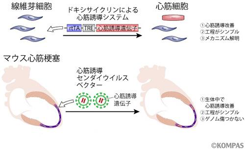 図2.新しい遺伝子発現ベクターによる心筋誘導と心臓再生
