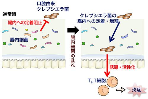 図1.本研究成果の模式図