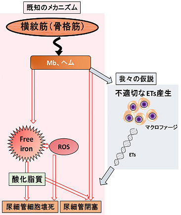 図1. マクロファージ由来のETsによる腎障害