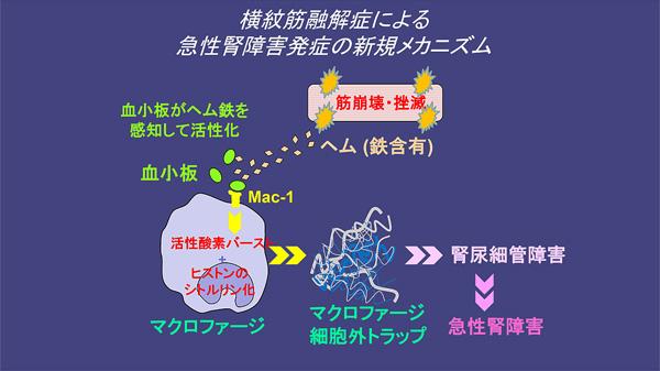 図2. 筋崩壊に続くMETs産生および腎障害発生の概要