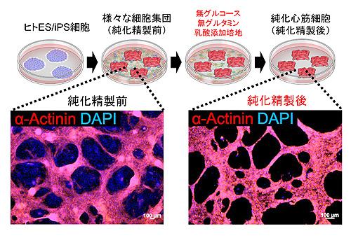 図1. 特殊な培養液を用いたヒトiPS細胞由来心筋細胞の選別システム